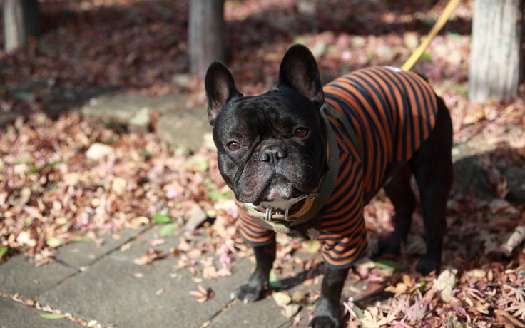 french bulldog picture to download - french bulldog category
