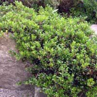 kinnikinnik; bearberry; Native groundcover; helps prevent erosion, evergreen, white blooms produce red berries, attracts birds and butterflies.