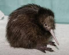 New Zealand native kiwi