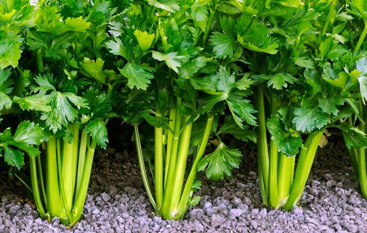 Learning how to grow celery can be challenging, but it pays off in the end.