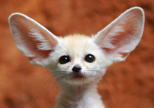 Oh my... what big ears you have