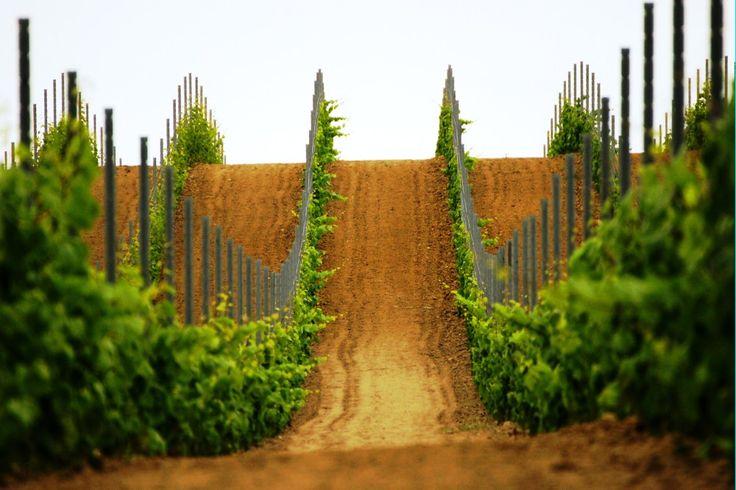Polish vineyards - Winnica Turnau