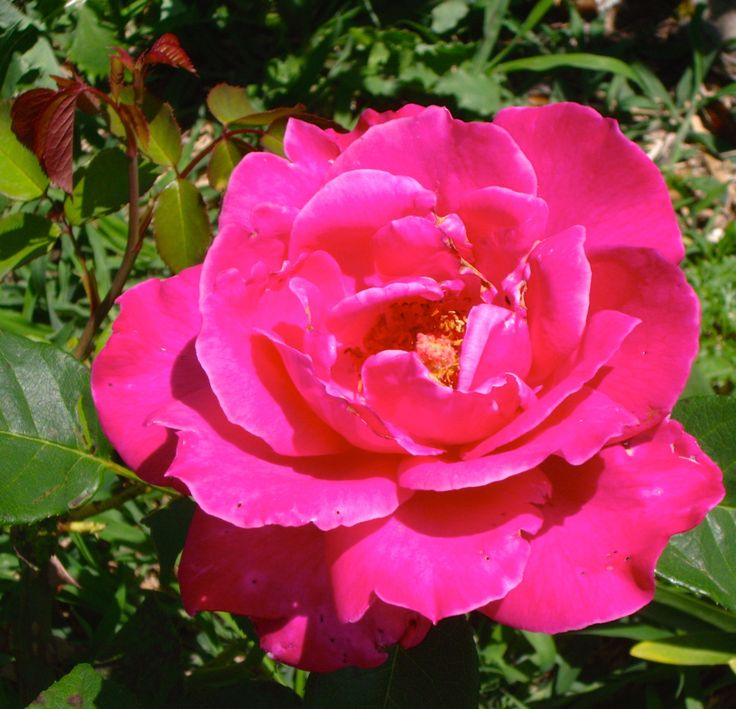 A pink rose in our Queensland garden. Photo by @LyndalHB    #rose #garden #pink #flower