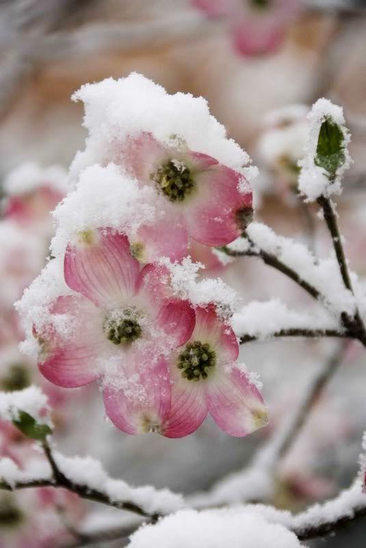 [Nieve tardía sobre las flores del árbol de Cornejo] » Late Snow on Blooms of Dogwood Tree