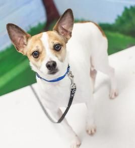 Chihuahua dog for Adoption in Bellbrook, OH. ADN-464833 on PuppyFinder.com Gender: Male. Age: Young