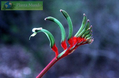 Kangaroo Paw - Pata de Canguru - Anigozanthos manglesii - Planta Mundo