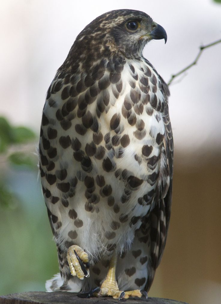 African Goshawk (Accipiter tachiro) is a species of bird of prey in the Accipitridae family.  #BirdsofPrey #BirdofPrey #Bird of Prey