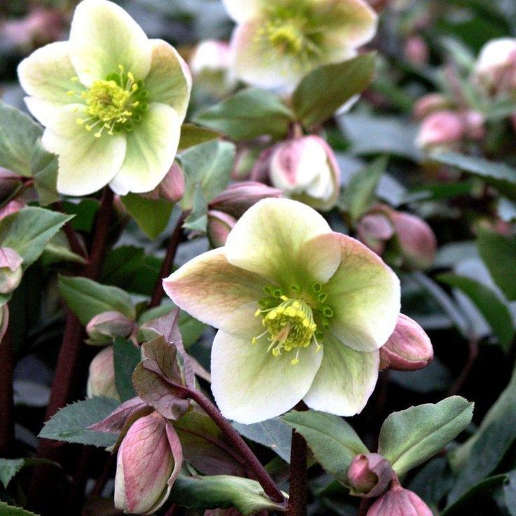 Rose de Noël / Hellébore (Toxique)