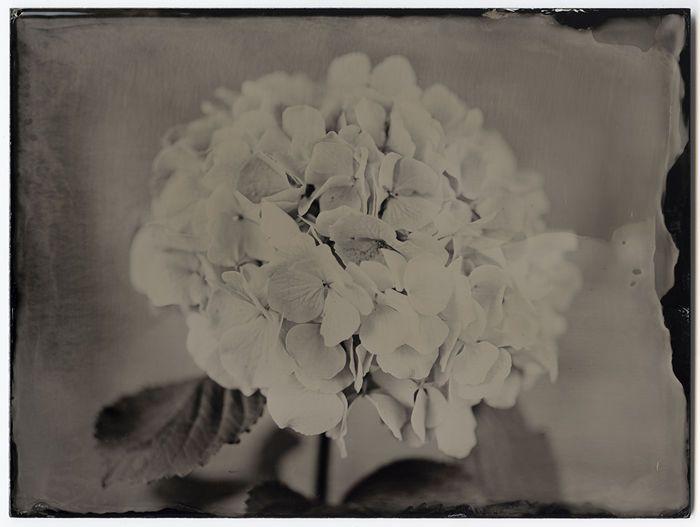 Marcin Seweryn Andrzejewski (1977-) - Flower 13 #1  Analoge fotografie van Marcin Seweryn Andrzejewski uit serie bloemen - 2017Unieke ambrotypie uit een serie van 5Dim: 18 x 24 cmPerfecte staat.Hout omlijst - 24 x 30 cmCertificaat van Echtheid omvattenElke foto wordt met de hand gemaakt door het gieten van een vloeibare emulsie op 3 mm zwarte glazen plaat. Na het maken van het gevoelig voor licht de plaat is blootgesteld in de camera en onmiddellijk ontwikkeld. Uiteindelijk krijgt de plaat…