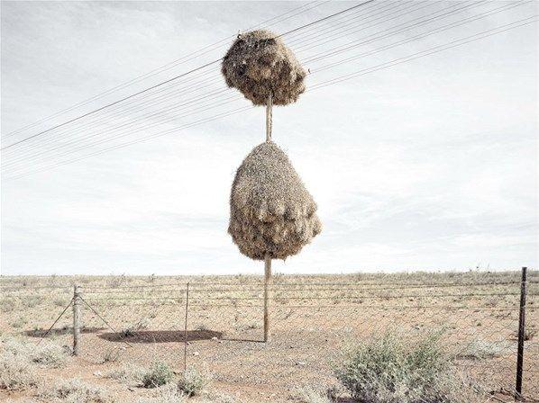 El fotógrafo sudafricano Dillon Marsh sacó unas fotos de unas estructuras increíbles de nidos de aves tejedoras, que cuelgan con formas alienígenas de unos postes telegráficos en el árido desierto del Kalahari. Las fotos son parte del proyecto 'Assimilation', que apunta a mostrar cómo las aves hacen uso de estructuras creadas por el hombre frente a la ausencia de árboles de verdad. Nidos de pájaros tejedores (© Dillon Marsh/Rex Features)