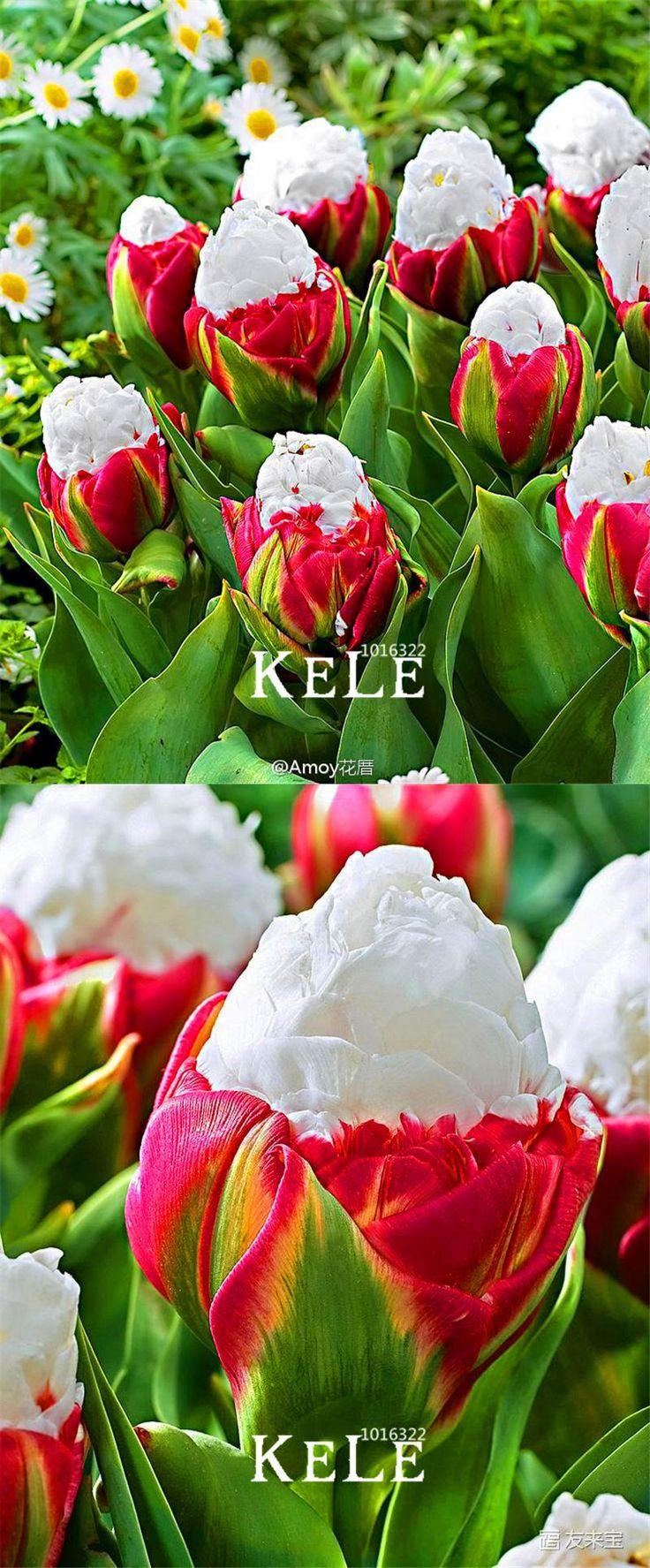 [Visit to Buy] Time-Limit!!10 PCS/Bag Cabbage Rare tulip seeds. Very rare flower seeds garden bonsai potted plants,sementes de flores ,#WQB7Z7 #Advertisement