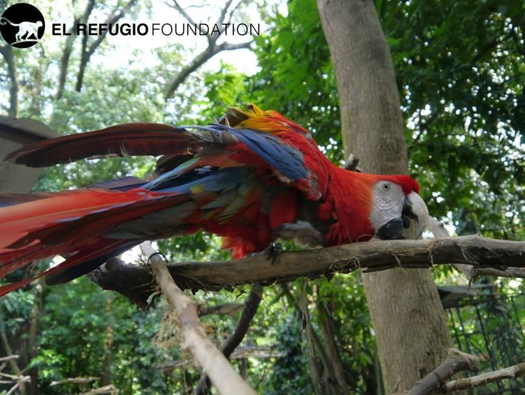 Rojito was poorly malnourished when he was younger, resulting in the deferment of some of his feathers today. He regularly receives treatment for this.