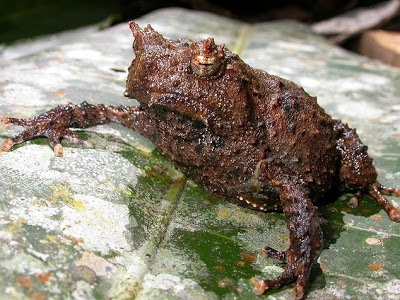 New Guinea Bush Frog (Asterophrys turpicola