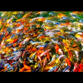 110 best images about koi on pinterest for Rainbow koi fish
