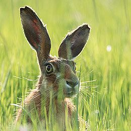 Backlit Hare