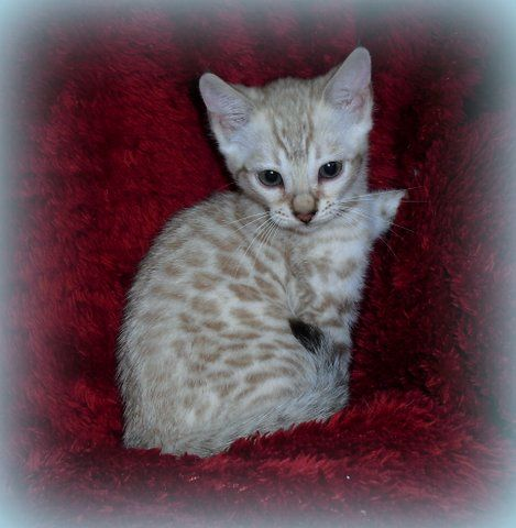Bengal kittens, Kittens and Snow on Pinterest