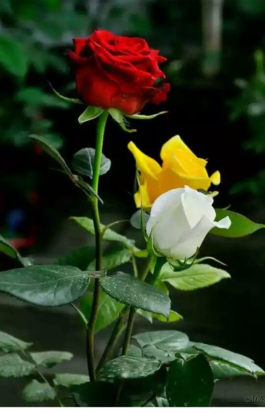 ~Roses