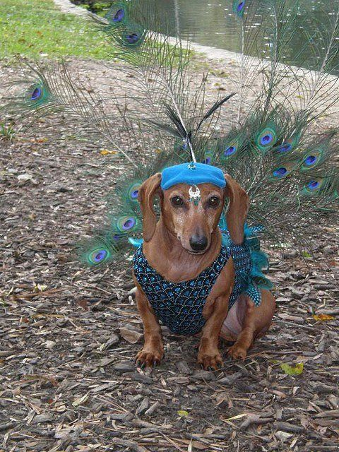Rarely seen in the wild… the Peacock Dachshund