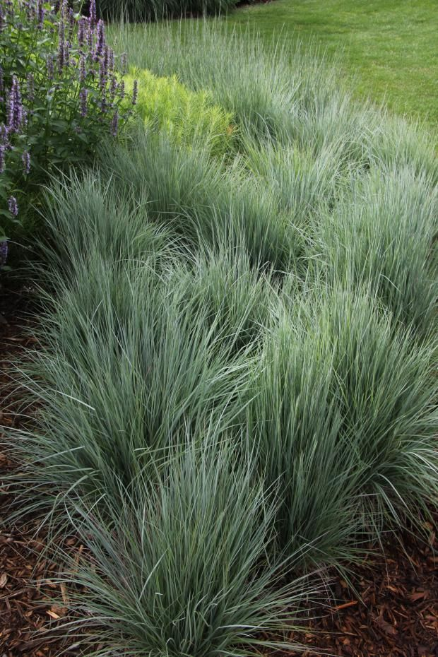 Schizachyrium scoparius -Little bluestem grows 2-4 ft in sun, dry mesic -dry
