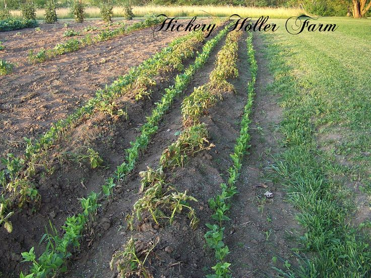 Hickery Holler Farm: Planting Over Those Dying Potato Vines