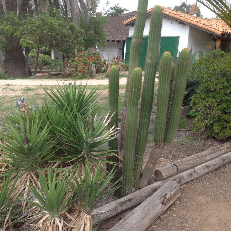 Items similar to Succulent plant, Pachypodium , commonly ...   Name Cactus Palm Tree