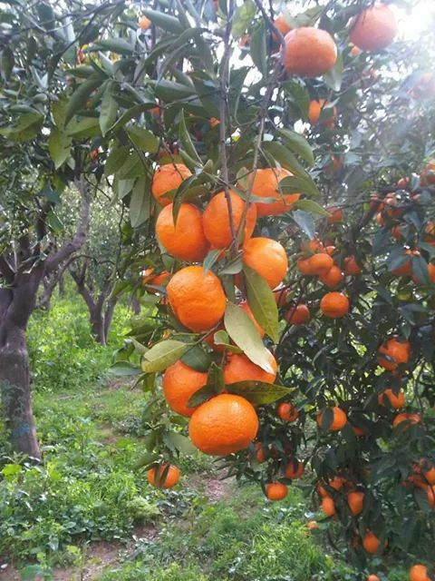 Mandarines in Kambos, Chios Greece
