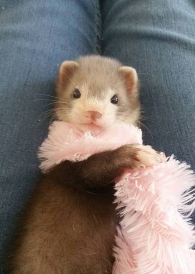 Look At That Beautiful Little Face Baby Ferrets Cute Baby