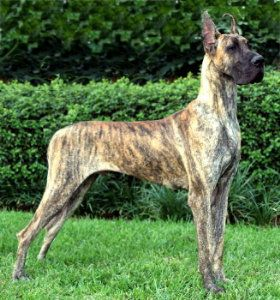 There is almost nothing more beautiful to me than a well put-together great Dane, and this brindle one is just stunning!