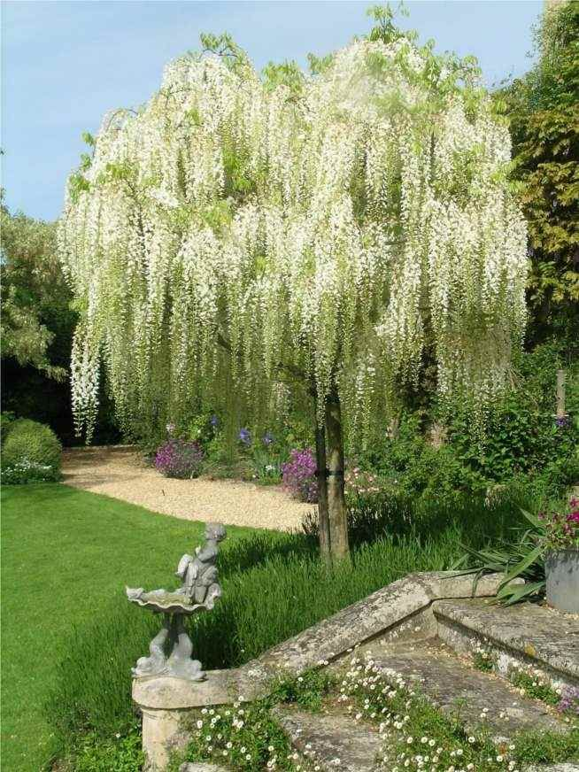 White Wisteria standard, Old Rectory Gardens, Sudborough, UK