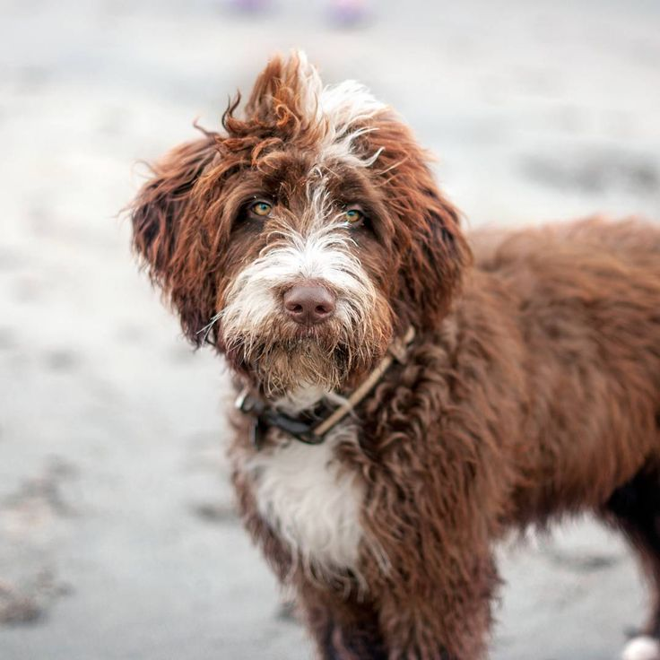 Dog Breeds Prone To Cataracts