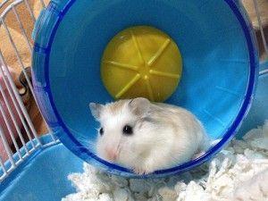 Robo Dwarf Hamster - All About Roborovski Dwarf Hamsters