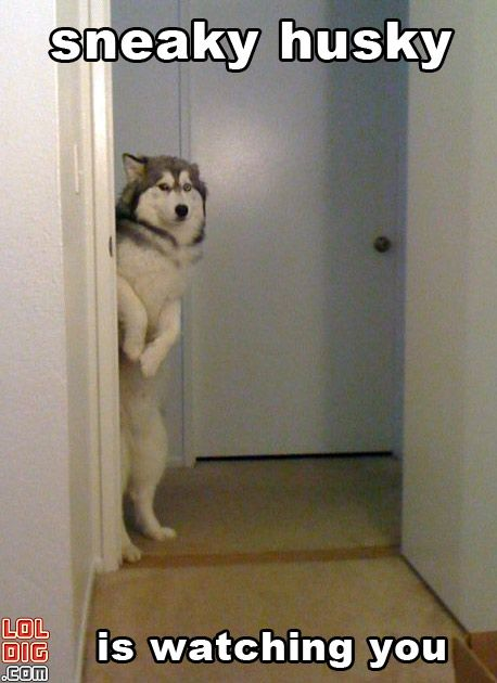 funny husky pictures | ... with funny pics, videos, animated GIFs & more! » funny husky photo