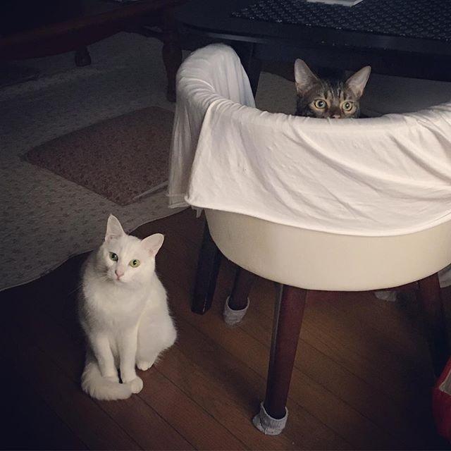 隣の家がリフォーム中で工事の騒音が気になるりくまるとびびるれん😨いつも自己主張激しくうざ絡みしてくるれんはベッドの下に避難したりイカ耳連発したり実は怖がりな事が判明。ストレスになって病気しませんように……。 #猫 #愛猫 #しろねこ #白猫 #ねこ #にゃんこ #にゃんだふるらいふ #ベンガル猫 #ベンガル #猫のいる暮らし #にゃんすたぐらむ #ねこちゃん #猫様