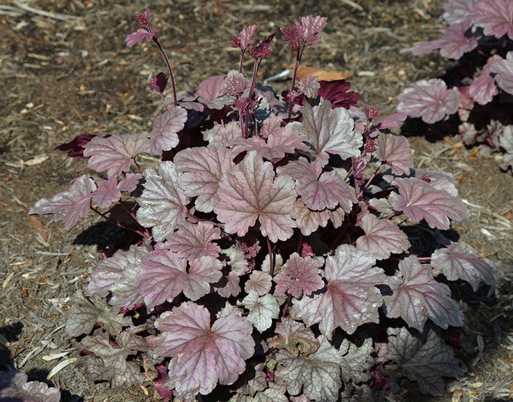 Heuchera 'Stainless Steel', 2 from Mahoney's. Photo: Mt. Cuba Center: Photo