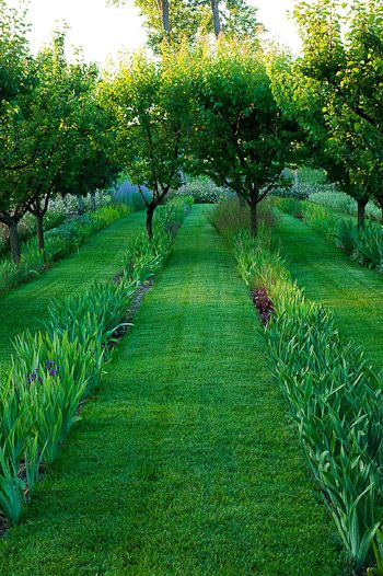Iris planted in rows underplanting fruit trees.Mown lawn inbetween the rows.