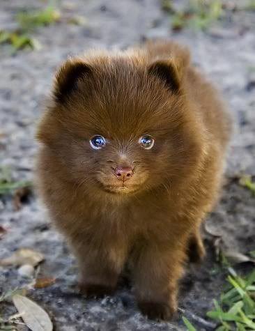Chocolate Pomeranian :) .Looks like a bear <3