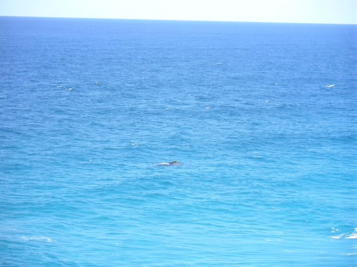 A humpback whale off Point Lookout.