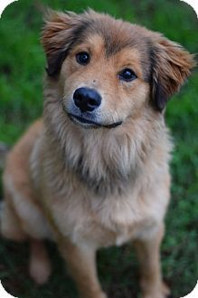 Manhattan, NY - Collie/Golden Retriever Mix. Meet Pretty Boy a Puppy for Adoption.