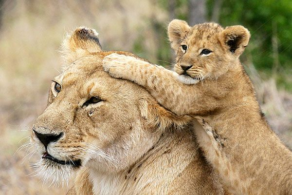 40+ Smart And Beautiful Lion Pictures | A House of Fun