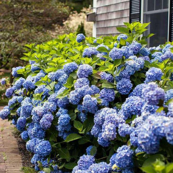 Endless Summer Hydrangea Ultra hardy Flowering Shrub for shade No Pruning