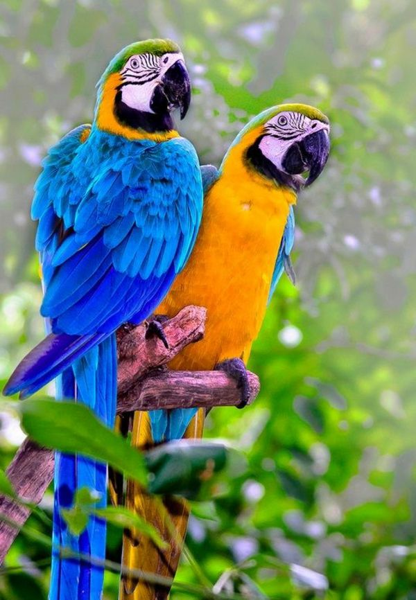 African Grey Parrot  Everything about your bird