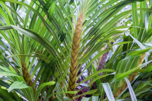 Angínovník je atraktivní rostlina, i když zrovna nekvete