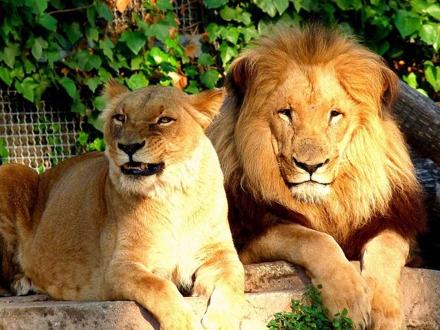 El rei lleó i parella