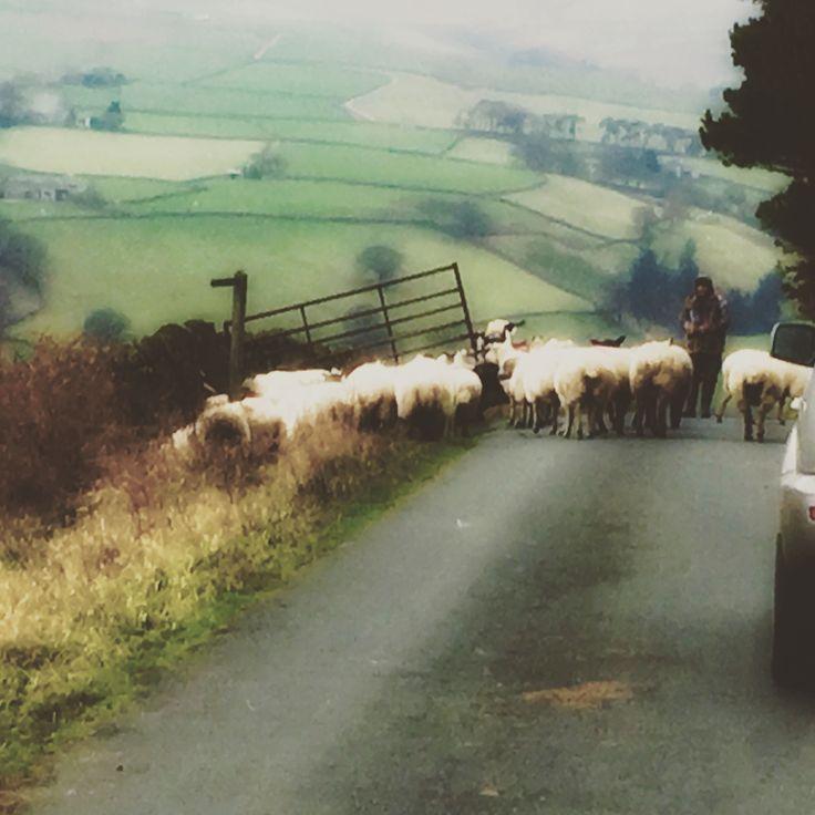 sheep traffic jam on Silver Hill - Pateley Bridge, Yorkshire  ©hilary anne stephens photo