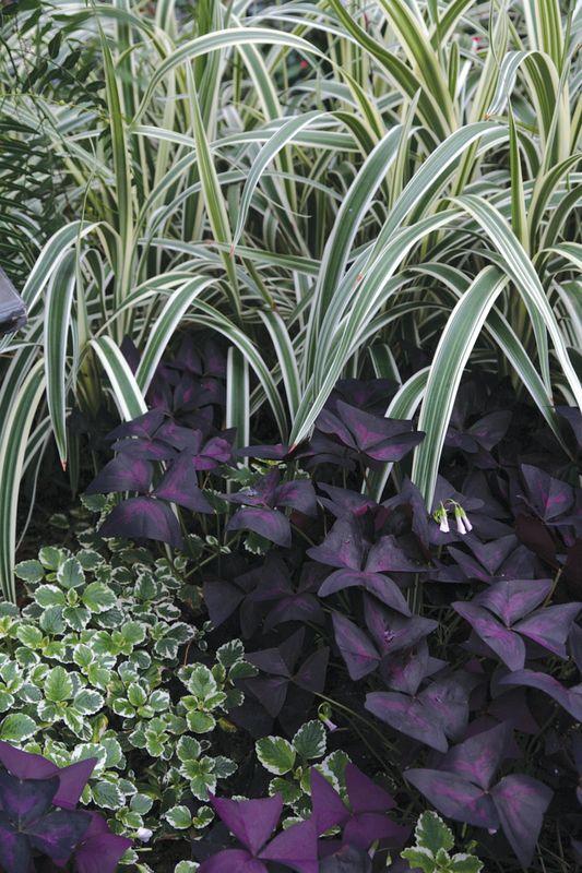 Oxalis - regnellii var. triangularis - Shamrock or Wood Sorrel Bulbs for sale
