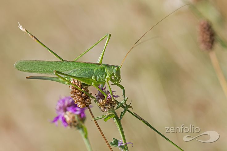 Tettigonia viridissima - saw one like these today, it missed its big leg on the left.