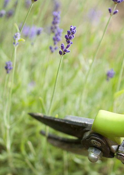 Levanduľová sezóna je v plnom prúde. Nepremeškajte ju a využite voňavú a krásnu rastlinu naplno. Poradíme vám, v akom štádiu zberať kvety, ako rastlinu rezať a kedy, aby bola krásna a zdravá.