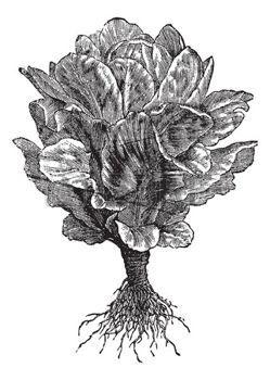 gravure: Laitue romaine ou Cos (Lactuca sativa), vendange, gravure. Ancien illustration gravé de laitue romaine isolé sur blanc. Illustration