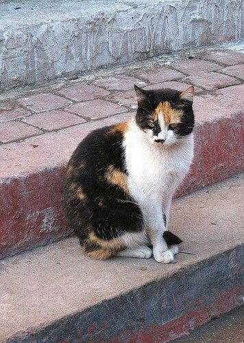 Les chats calico ou chattes d'Espagne sont quasiment juste des femelles. Extrêmement rare sont les mâles avec les couleurs que nous voyons sur l'image. Les chattes d'Espagne sont toujours magnifiques...   Calico cats or cats in Spain are almost just females. Males are extremely rare with the colors that we see on the image. Cats in Spain are always beautiful ...