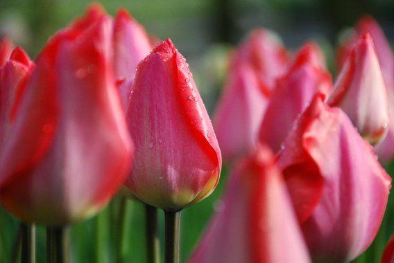 Dauwdruppels op roze tulpen van Leuntje 's shop